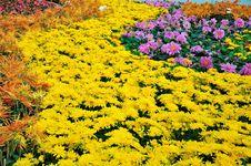Free Chrysanthemum Flowers Royalty Free Stock Photography - 52153707