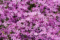 Free Violet Flowers For Decoration Stock Photos - 5220253