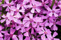 Free Violet Flowers For Decoration Royalty Free Stock Photo - 5220305