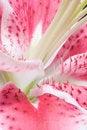 Free Lily Stamens Macro Stock Photos - 5220733