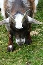 Free Innocent Little Goat Royalty Free Stock Photography - 5221467