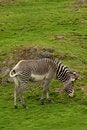 Free Photograph Of A Zebra Stock Photos - 5222223