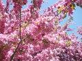 Free Pink Tree Stock Image - 5222531