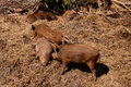 Free Wild Boar Stock Images - 5222664
