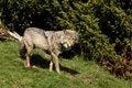 Free EUROPEAN GREY WOLF Stock Photos - 5223183