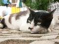 Free Siamese Cat Stock Photo - 5224930