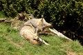 Free EUROPEAN GREY WOLF Stock Photography - 5225092