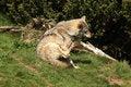Free EUROPEAN GREY WOLF Royalty Free Stock Photo - 5225095