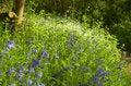 Free English Bluebell Wood Royalty Free Stock Photo - 5225135