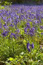 Free English Bluebell Wood Stock Image - 5225311