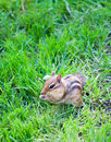 Free Chipmunk Stock Photo - 5227180
