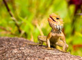 Free Sunning Lizard Royalty Free Stock Photo - 5228385