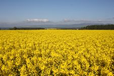 Free A Field Of Yellow Rape Seed Royalty Free Stock Images - 5220099