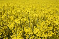 A Field Of Yellow Rape Seed Royalty Free Stock Images