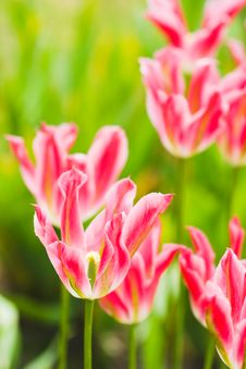 Free Close-up Of Pink Tulip On Field Stock Image - 5220111