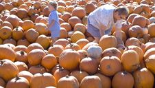 Free Perfect Pumpkin Hunt Royalty Free Stock Photos - 5220158