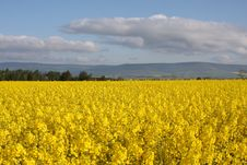 A Field Of Yellow Rape Seed Stock Photography