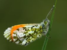 Free Orange Tip Butterfly Stock Image - 5220201