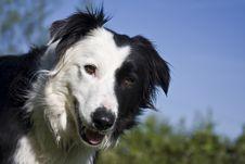 Free Hopeful Sheepdog Royalty Free Stock Photo - 5220275