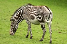Free Photograph Of A Zebra Royalty Free Stock Image - 5220646