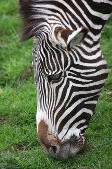 Free Photograph Of A Zebra Royalty Free Stock Images - 5220679