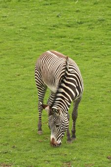 Free Photograph Of A Zebra Royalty Free Stock Photos - 5220758