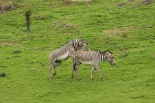 Free Excitied Zebras Stock Photography - 5220812