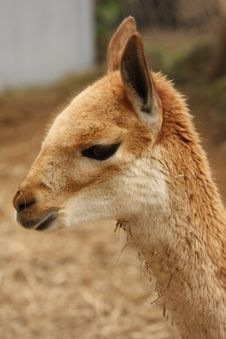 Free Vicuna Stock Photos - 5220933