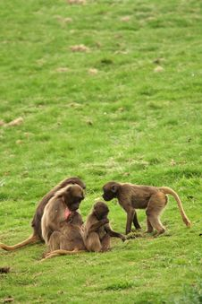 Free Gelada Baboon Royalty Free Stock Photo - 5220945