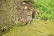 Free Grey Squirrel Stock Photo - 5221040