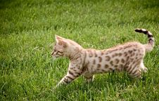 Free Young Bengal Kitten Royalty Free Stock Image - 5221126