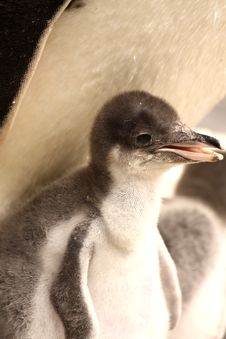 Free Gentoo Penguin Chick Royalty Free Stock Images - 5221329