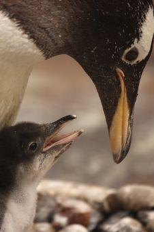 Free Gentoo Penguin Chick Royalty Free Stock Photography - 5221337