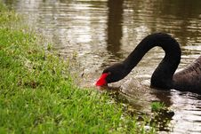 Free Black Swan (cygnus Atratus) Stock Photos - 5221473