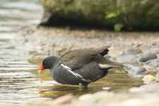 Free Moorhen Stock Photography - 5221512