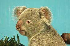 Free Koala Bear Stock Images - 5221544