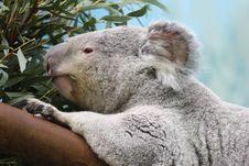 Free Koala Bear Royalty Free Stock Photo - 5221555