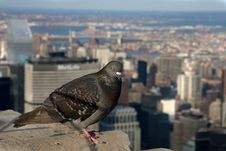 Free Pigeon Above Manhattan Stock Photos - 5221573
