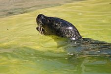 Free Grey Seal Stock Photos - 5221663