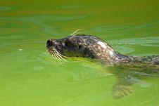 Free Grey Seal Stock Photos - 5221673