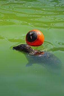 Free Grey Seal Royalty Free Stock Photo - 5221685