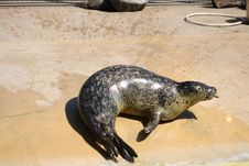 Free Grey Seal Stock Images - 5221704