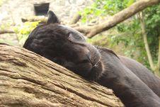 Free Black Jaguar Stock Images - 5221814