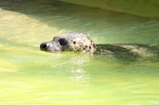 Free Grey Seal Royalty Free Stock Image - 5221996