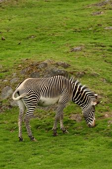 Free Photograph Of A Zebra Stock Photos - 5222223