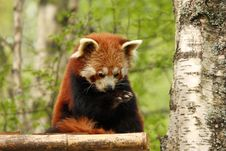 Free Red Panda Stock Images - 5222424