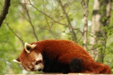 Free Red Panda Stock Photo - 5222440