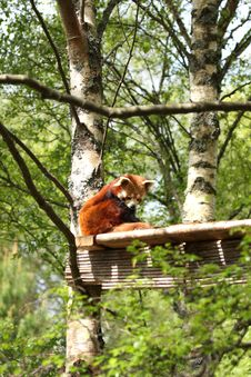 Free Red Panda Stock Photography - 5222472
