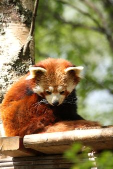 Free Red Panda Stock Image - 5222481