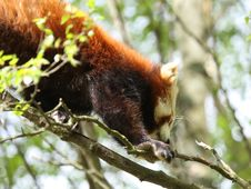Free Red Panda Stock Photos - 5222503